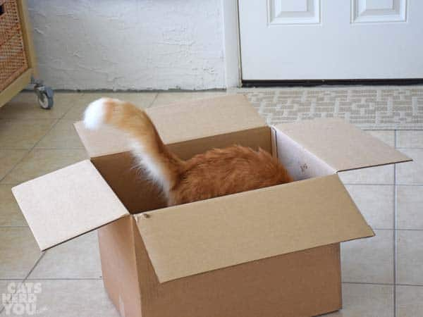 orange tabby cat's tail waves out of cardboard box