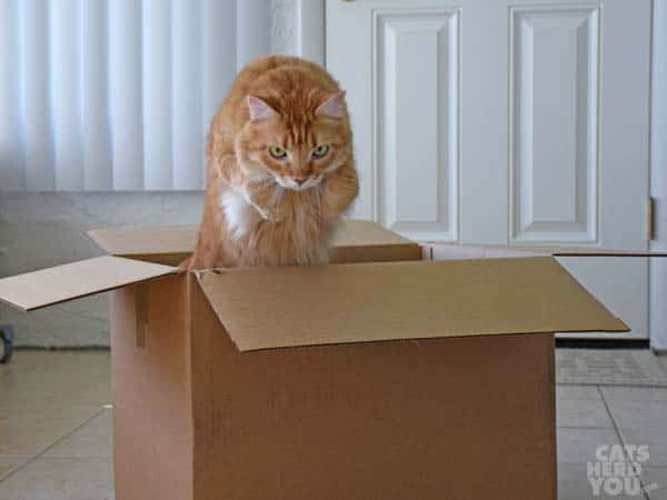 orange tabby cat leaps out of cardboard box