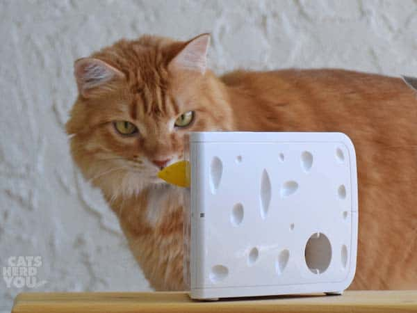 orange tabby cat and the PetSafe Cheese