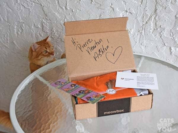 orange tabby cat spots open Meowbox