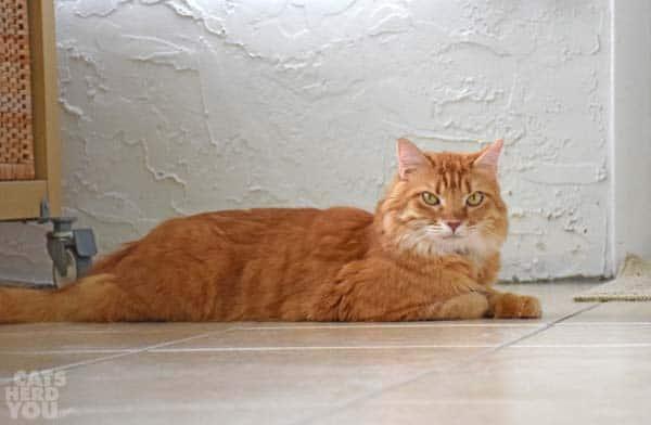 orange tabby cat looks skeptical