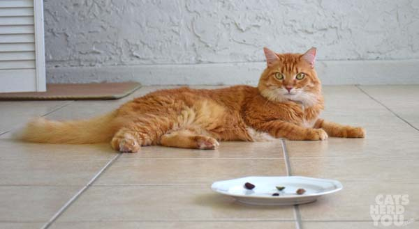 orange tabby cat stares over a plate of olive fragments