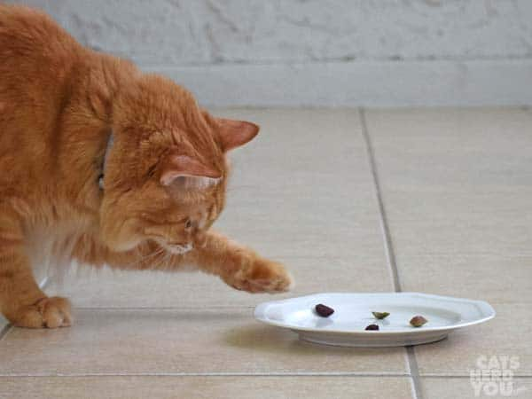 orange tabby cat reaches out a paw to touch olives