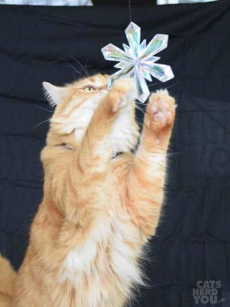 orange tabby cat reaches for snowflake