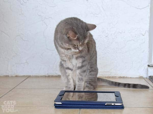 gray tabby cat looks at ipad