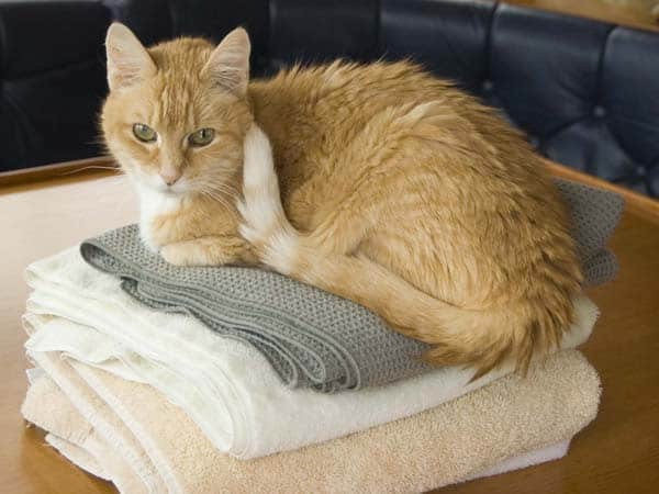 senior cat on towels