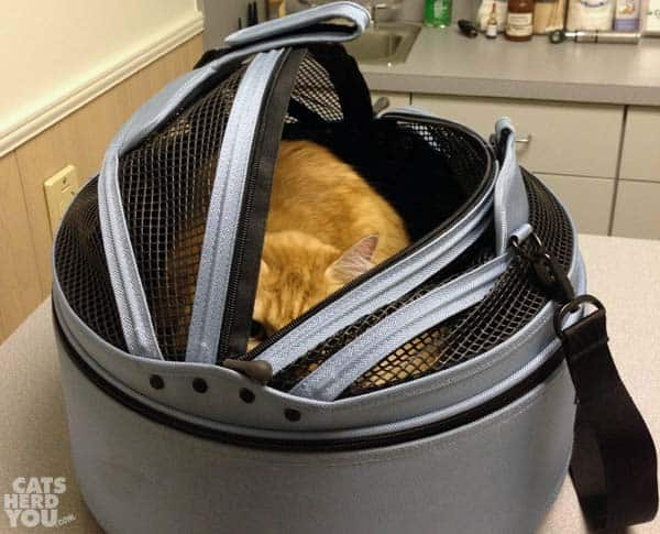 Orange tabby cat in sleepypod at vet
