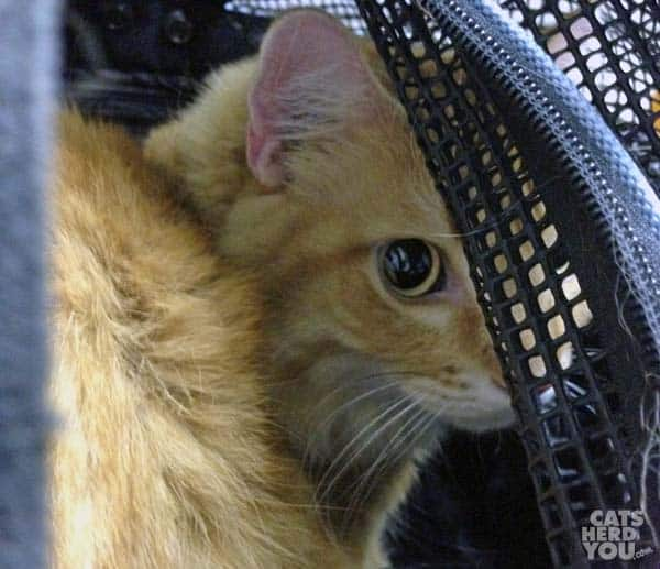 Orange tabby cat peeks out of carrier at vet