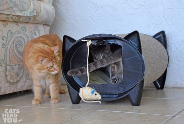 Orange tabby cat watches gray tabby cat in KatKabin