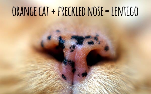 orange cat + freckled nose = lentigo
