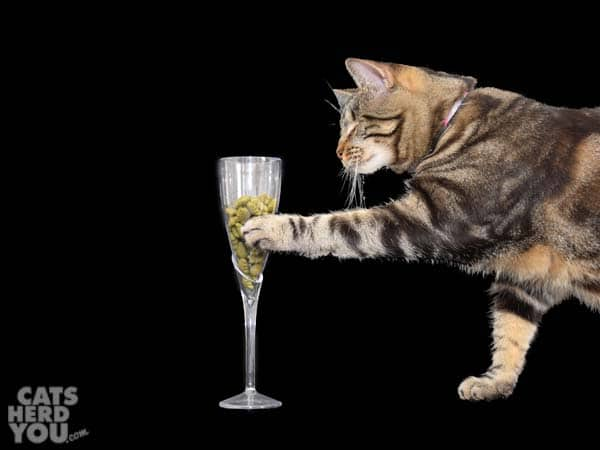 one-eyed brown tabby cat paws champagne flute full of treats