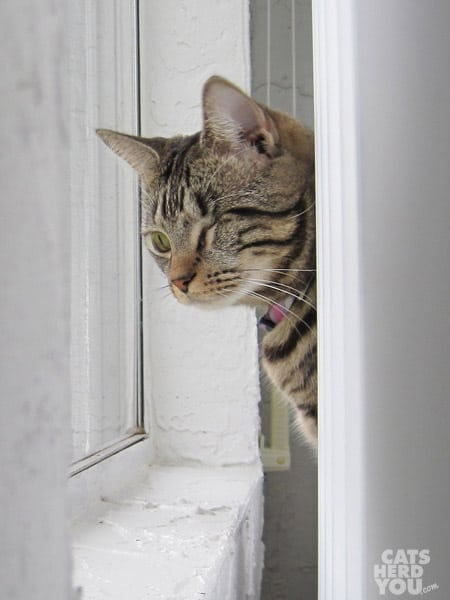 one-eyed brown tabby cat looks out window