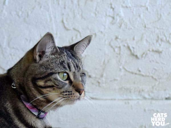 brown tabby cat, stucco background