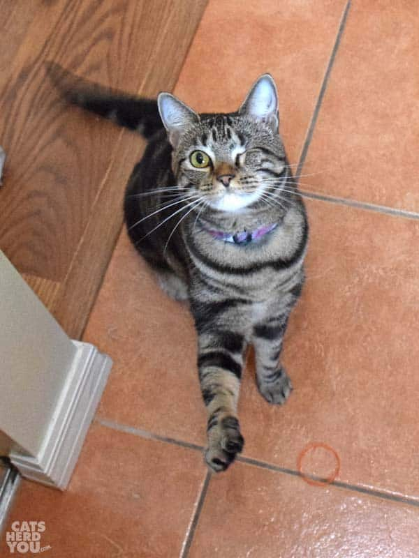 one-eyed brown tabby cat waves paw