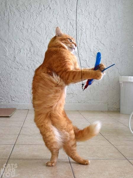 orange tabby dat and Da Bird feather toy