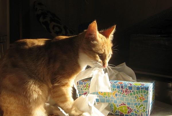 Cat with Tissues