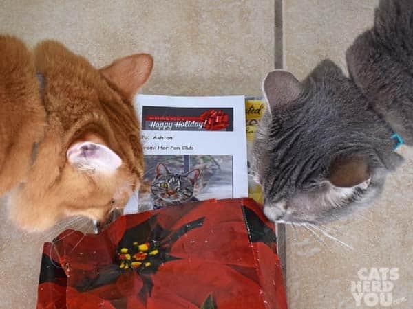 orange tabby cat and gray tabby cat look at Ashton's Fan Club gift