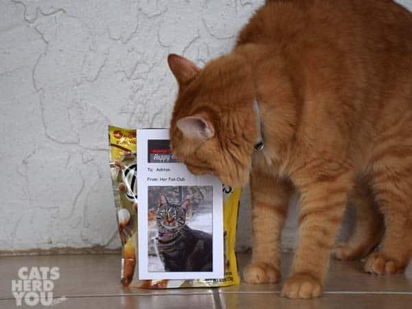 orange tabby cat looks at Ashton's Fan Club sign