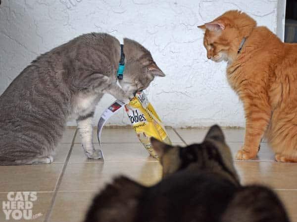 gray tabby cat tips over treats