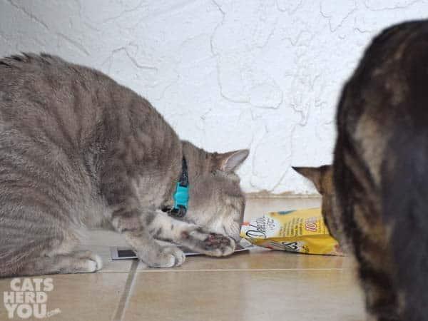 Pierre snifs treats as Ashton looks on