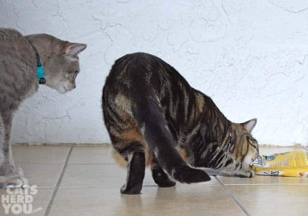 gray tabby cat watches brown tabby cat