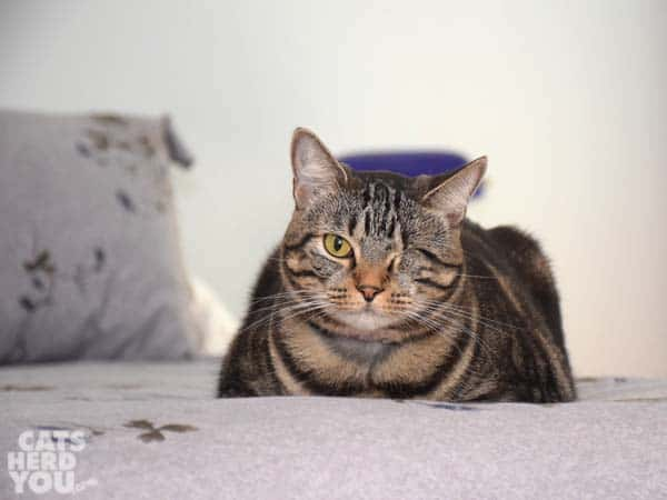 """one-eyed brown tabby cat in the """"loaf"""" position"""
