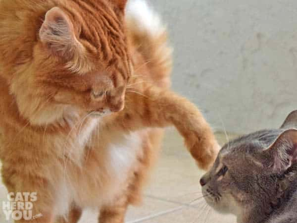 Orange tabby cat extends paw to touch gray tabby cat