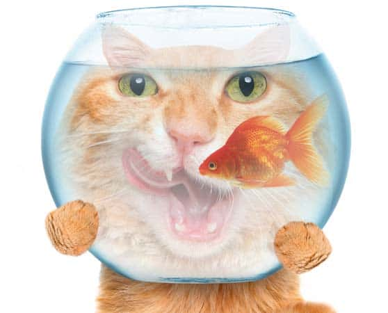 hungry orange cat with goldfish bowl