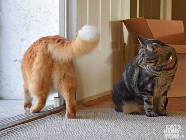 one-eyed brown tabby cat watches orange tabby cat exit