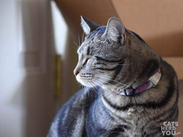 one-eyed brown tabby cat looks toward light source