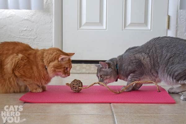 orange tabby cat and gray tabby cat play with feline yogi mat