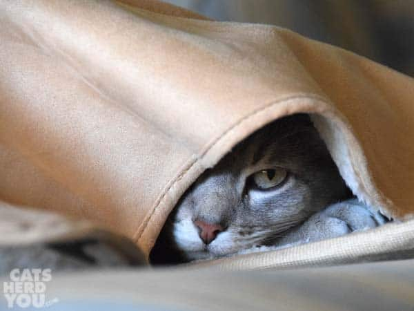 gray tabby cat hides under cloudpuff blankie