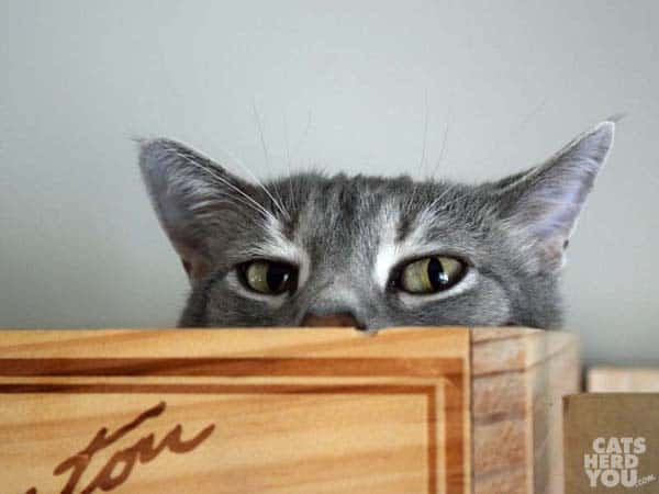 gray tabby cat peeks out of wine crate