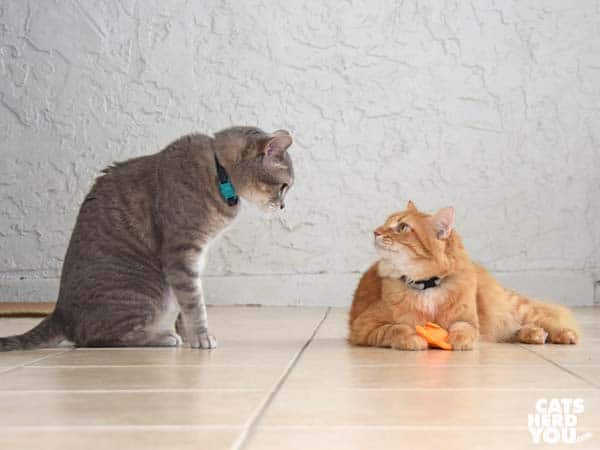 gray tabby cat and orange tabby cat face off over beco freddie the fish catnip toy