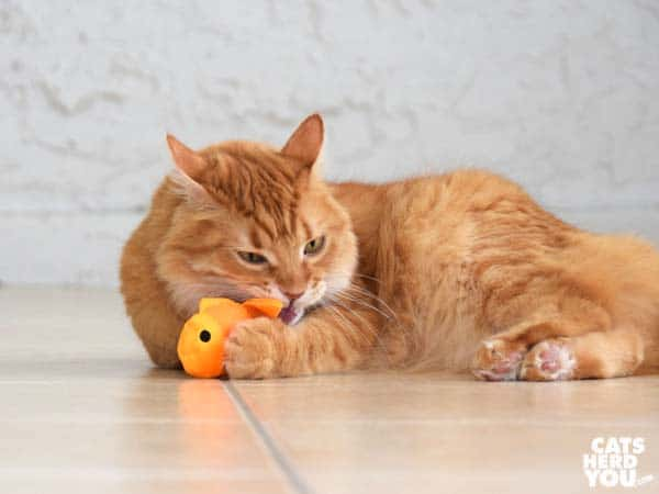 orange tabby cat chews on beco freddie the fish catnip toy