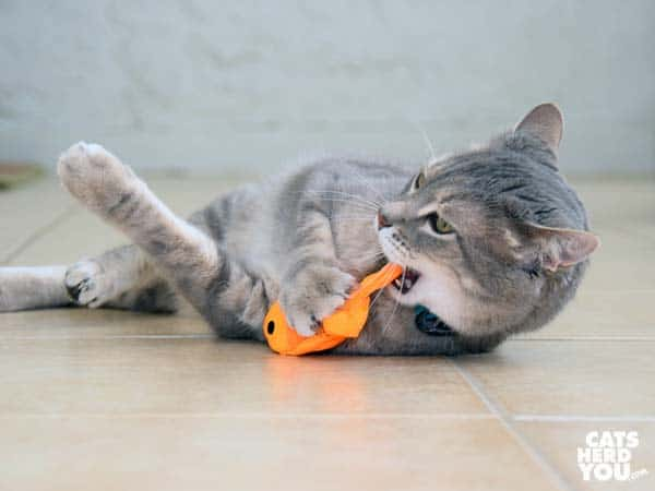 gray tabby cat chews beco freddie the fish catnip toy