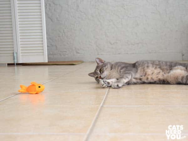 gray tabby cat gazes longingly at beco freddie the fish catnip toy