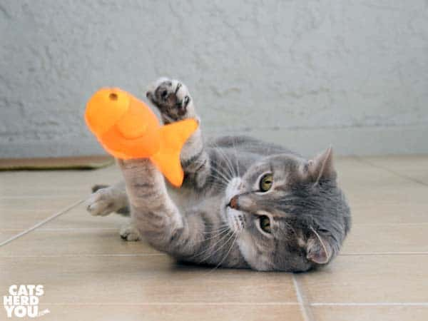 gray tabby cat tosses beco freddie the fish catnip toy