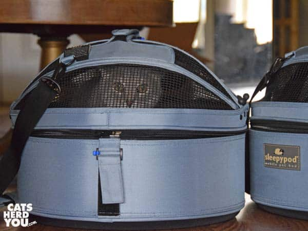 gray tabby cat in sleepypod carrier