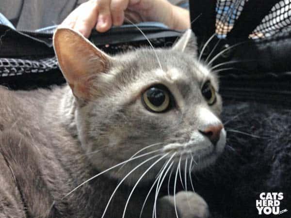 gray tabby cat looking afraid at vet's office