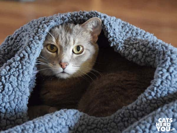 gray tabby cat in kozy kitty cat sack