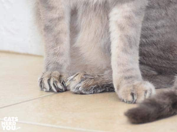 Gray tabby cat's wet feet after they were washed