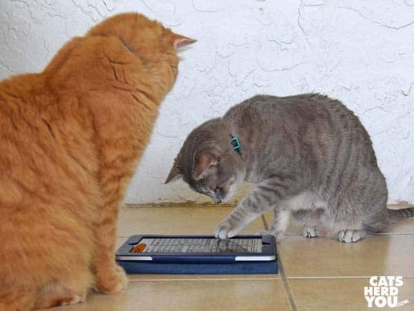 gray tabby cat reads Bravo canned food country of origin information while orange tabby cat looks on