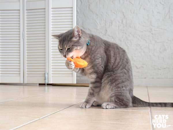 Gray tabby cat plays with Freddie the Fish from Beco