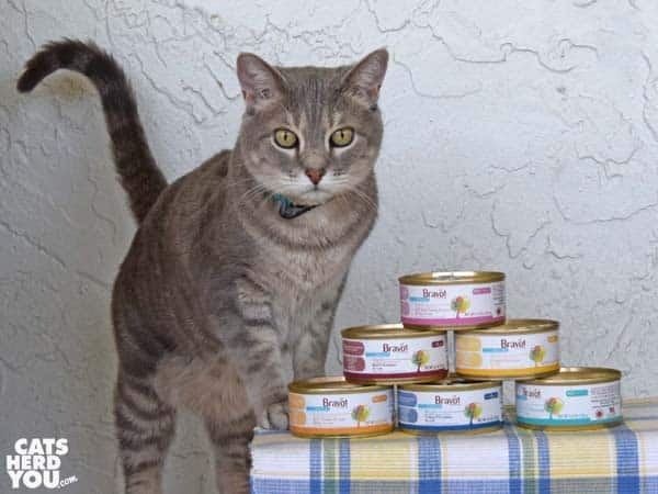 gray tabby cat with Bravo pet food cans