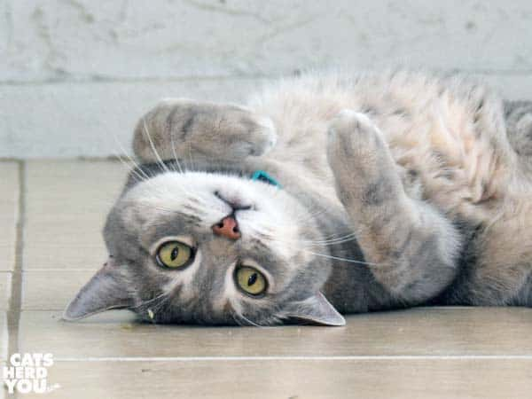 gray tabby cat upside-down on floor with catnip scattered around