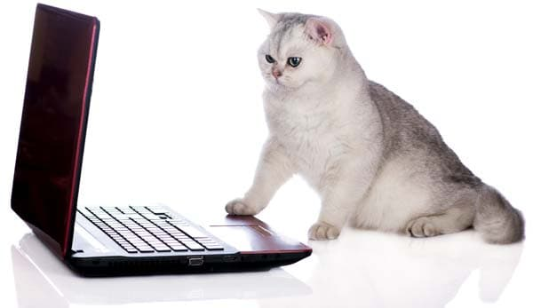 british shorthair cat using computer