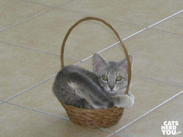 gray tabby kitten in too-small basket