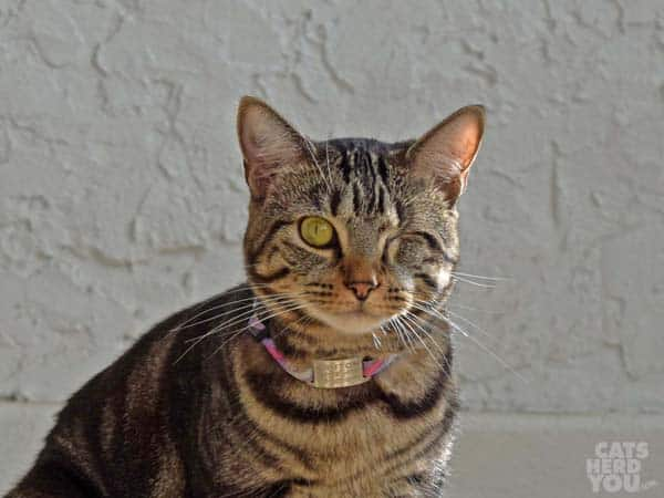 one-eyed brown tabby cat wearing collar and tag