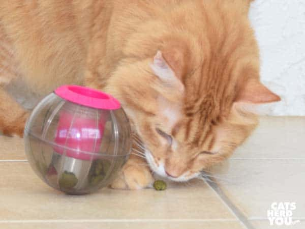 orange tabby cat eats treat from Buster Catmosphere